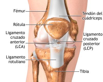 Artículo Rehabilitación del ligamento cruzado anterior